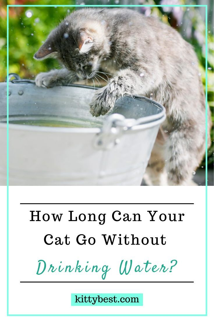 How Long Can Cats Go Without Drinking And What To Do Cat Drinking Cats Cat Care