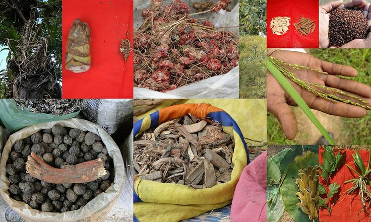 Medicinal Rice based Tribal Medicines for Diabetes Complications and Metabolic Disorders (TH Group-637) from Pankaj Oudhia's Medicinal Plant Database
