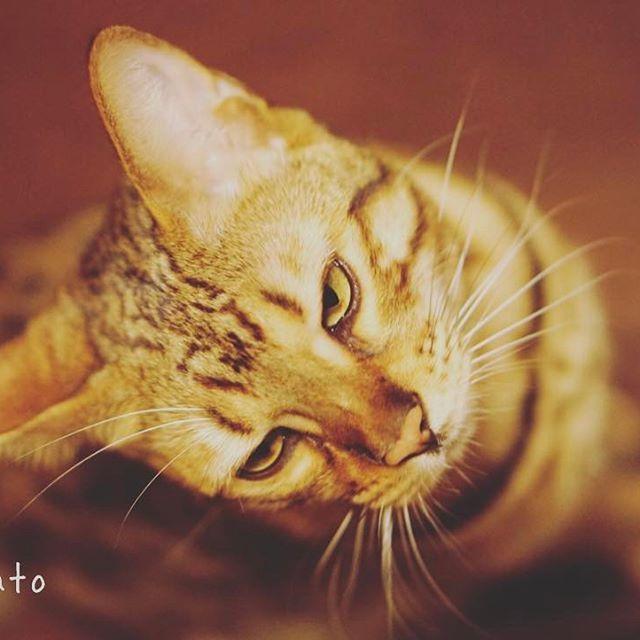 ご主人…体調良くなったんだから、この連休はちゃんと遊んでよ…? 【インフルエンザから復活】  このところ再流行しているようなので、皆さんもお気をつけて(^-^;) #ねこ #ねこすたぐらむ #にゃんすたぐらむ #ネコスタグラム #ねこ好き #愛猫 #cat #catsagram #みんねこ #ねこ部 #ねこのきもち部 #ウェブキャットショー #ウェブキャットショー2 #ぶちゃかわ #ジト目