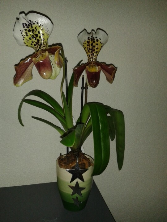 Paphiopedilum with Christmass