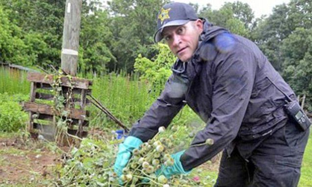 Large heroin Poppy Bust in U.S. Captain Jason Reid of Catawba County Sheriff's Office said some of the poppy plants, pictured, had already been scored which allows the opium, which is used to create heroin, to pour out.
