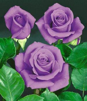 Roos 'Blue Saphir'
