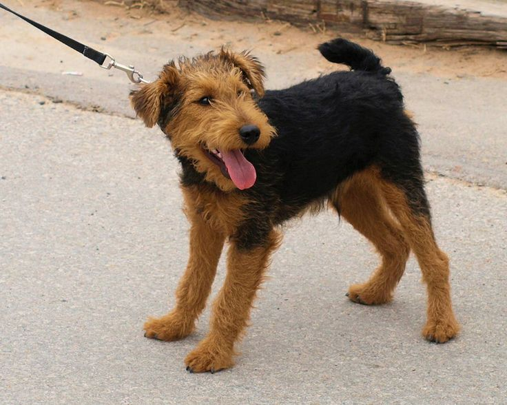 17 Best images about Welshies (Welsh Terriers) on ... Welsh Terrier 6 Months