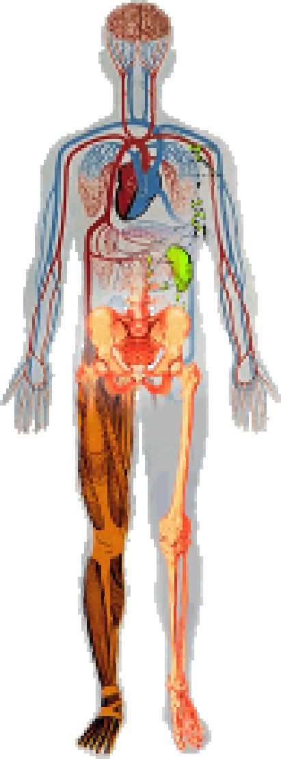 Image result for Full Human Body Diagram Unlabeled | Merit