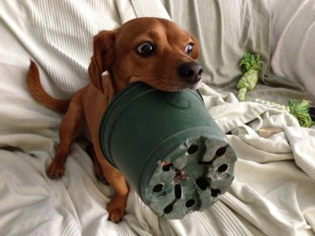 Dachshund busted for possession of pot!