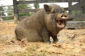 Hasil gambar untuk fat piglet