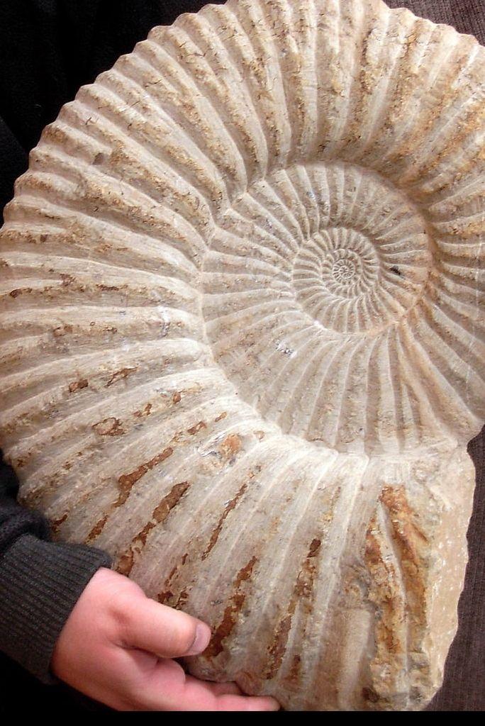 Ammonitesz fosszília / Ammonites fossil