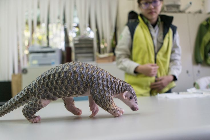 Meet the Pangolin, the Real World Pokemon You Didn't Know You Loved | Atlas Obscura