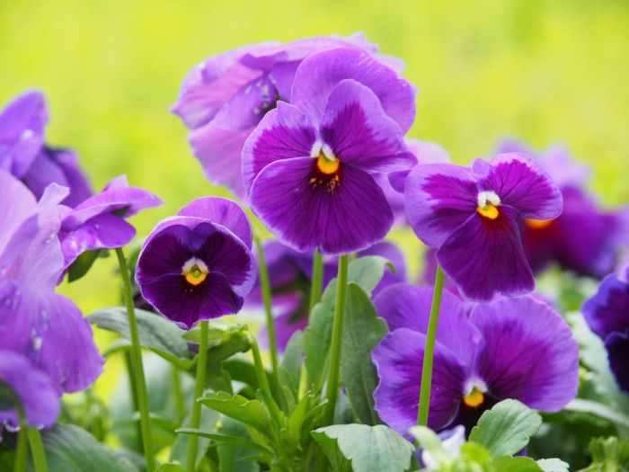 Viola tricolor 'Heartsease' | Location: Hong Kong | Season: Spring (March 2015) | Secret Stone Garden 愛・美麗