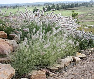 Pennisetum alopecuroides PENNSTRIPE™ PAV300) is a compact variegated grass with feathery plumes; 45cm high x 45cm wide; grows in full sun to part shade; suits sandy to heavy clay soils. Tolerates frost, humidity and drought. Non-invasive to bushland - does not seem to set viable seed