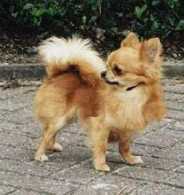 Long Hair Chihuahua - Looks just like Callie, except Callie always had her tongue hanging out!