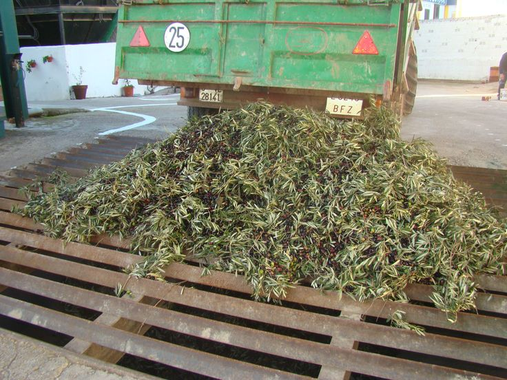 When it comes to the mill the olives are dumped in hoppers that are ready for harvesting fruit.