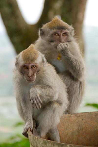Une famille de macaques près de la route