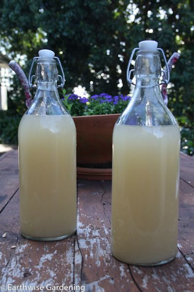 homemade lemon barley water - oddly refreshing historic beverage, still given to invalids in the UK. You will end up with a lot of cooked barley so have a soup recipe handy!