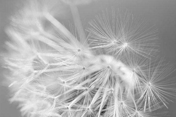 soft silver gray and white Dandelion flower photography art for your home or office decor. #gray #grey #silver #dandelion