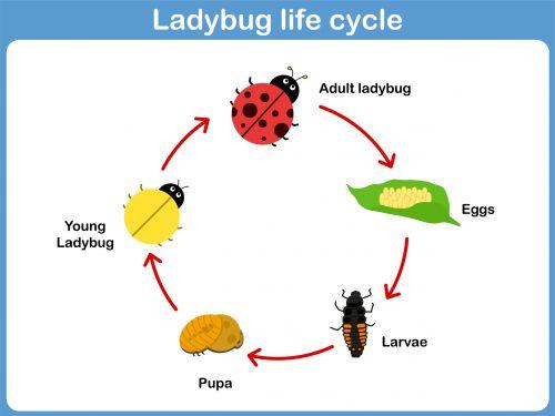 ladybug life cycle lebenszyklen  tiere und suche
