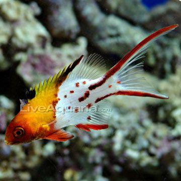 Lyretail Hogfish | Lyretail Hogfish (Bodianus anthioides)
