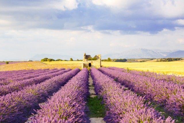 Una visione dei tipici coloridella Provenza dove il giallo dei campi di grano o di girasole contrastano con il viola delle distese di lavanda