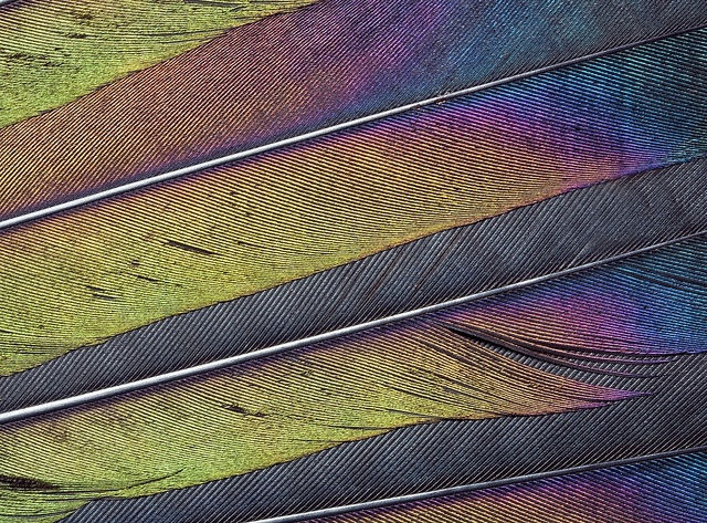 Magpie tail feathers