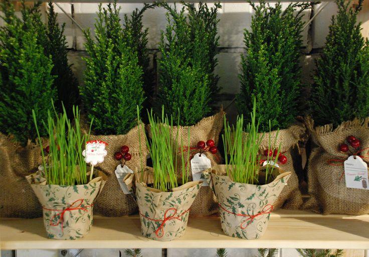 www.dreamgardens.ro//plante marturii evenimente, plante in ghivece, decoratiuni ghivece, aranjamente plante in ghivece, mini plante, plante suculente, ghivece colorate, ghivece metalice, galetuse ghivece.