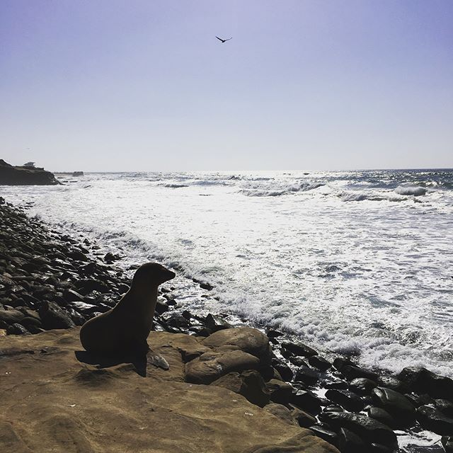 I can't believe I got to get this up close and personal with the famous #lajolla seals and sea lions. They were all bunched up and piled together like cuddly little blorps. . . . #travel #california #nature #sealbeach #seal #adventure #traveling #travelgram #lajollalocals #sandiegoconnection #sdlocals #sandiegolocals - posted by bzz 🐝  https://www.instagram.com/wasporbee. See more post on La Jolla at http://LaJollaLocals.com