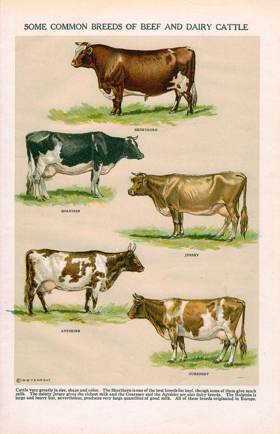 Some Common Breeds of Beef and Dairy Cattle Vintage Book Plate by SeagullIsland, $ 10.00