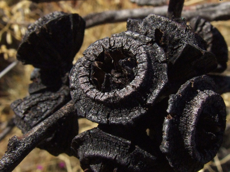 Bush Fire blackened Gumnuts, many Australian plants have evolved to reproduce with the help of bushfires.