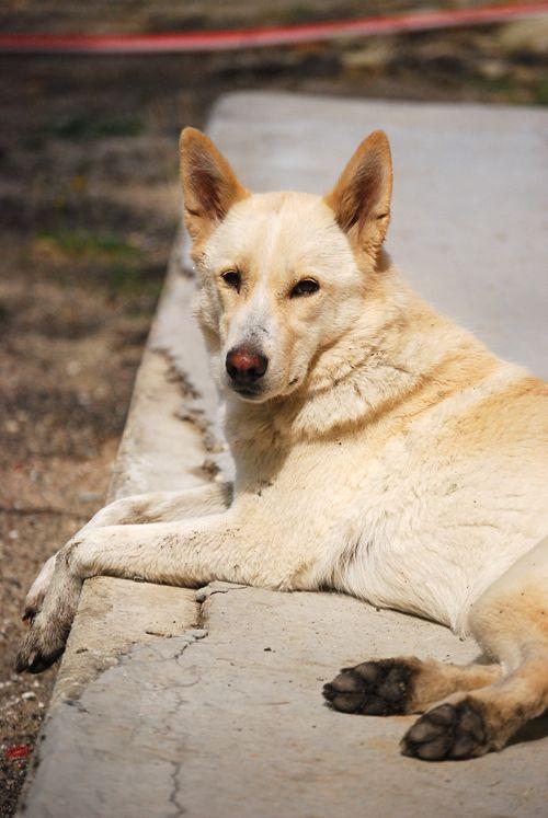 Chien de Canaan #Dog #Puppy