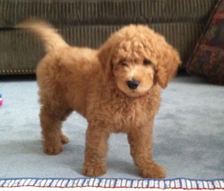 #goldendoodle #dogs #cute   Goldendoodle1.com   Pinterest ...