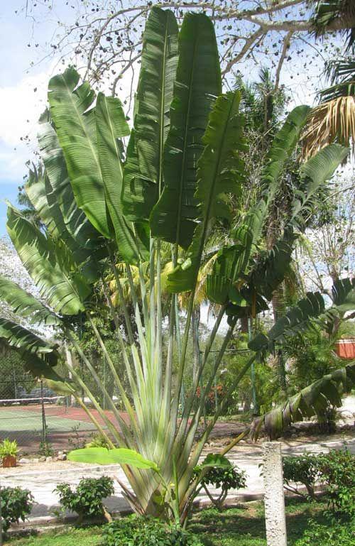 Traveler S Tree Or Traveler S Palm Ravenala