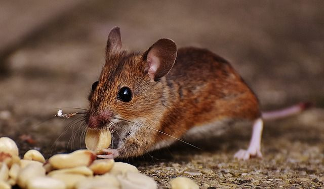 Ha már meguntad a padláson hancúrozó egereket, hoztunk neked pár tuti megoldást a problémára