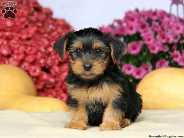 Daffodil yorkie puppy for sale in leola pa