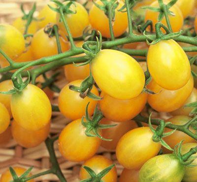 Tomato 'Cuban Yellow Grape' | From Tomato Growers Supply ...