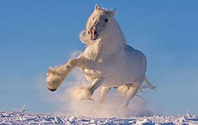 Лошади древнейшей породы Шайр - английские ломовые тяжеловозы