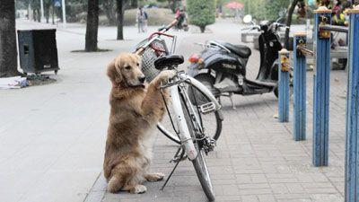 Dog keep bike !