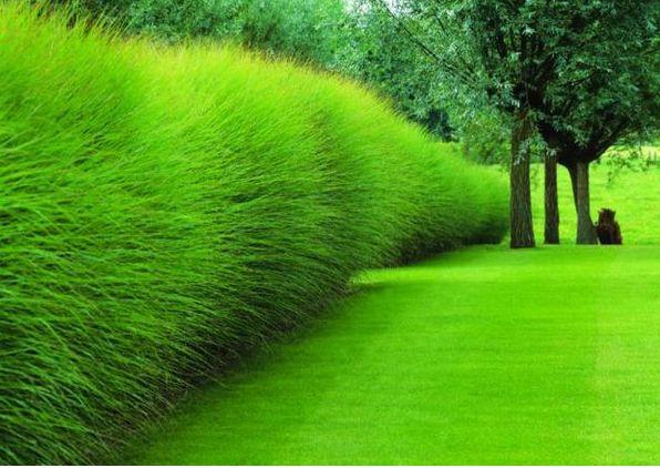 Garden hedge: Miscanthus sinensis. What a texture! What a good idea! This is the garden of sculptor Jan Calmeyn near Antwerp, Belgium. Designed by Belgian landscape architect Piet Blanckaet. Photo by Phillippe Perdereau.