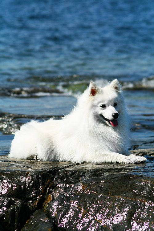 """Click visit site and Check out Cool """"German Spitz"""" T-shirts. This website is…"""