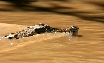 Krokodille i Kinabatangan-floden på Borneo