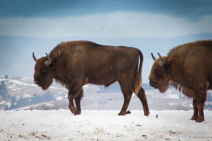 Carpathian Bison in Winter