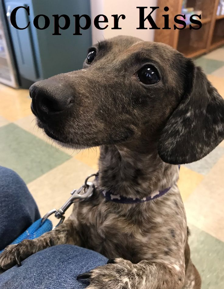Dachshund dog for Adoption in San Antonio, TX. ADN783029
