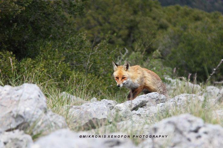 Αλεπού (η τσατσαμάλω) κάπου στα ορεινά.
