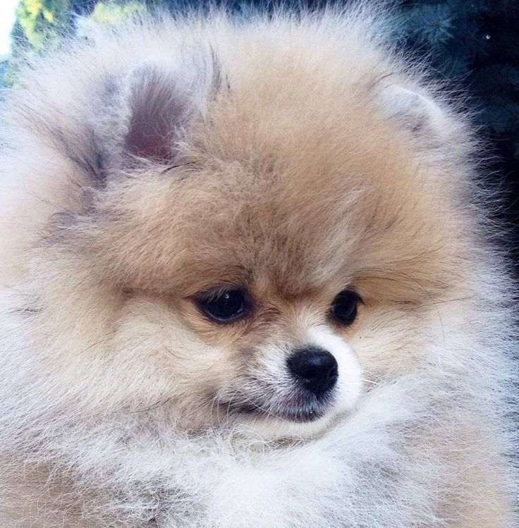 pomeranian faces pretty lady mascotas mascotas perros y animales 8754