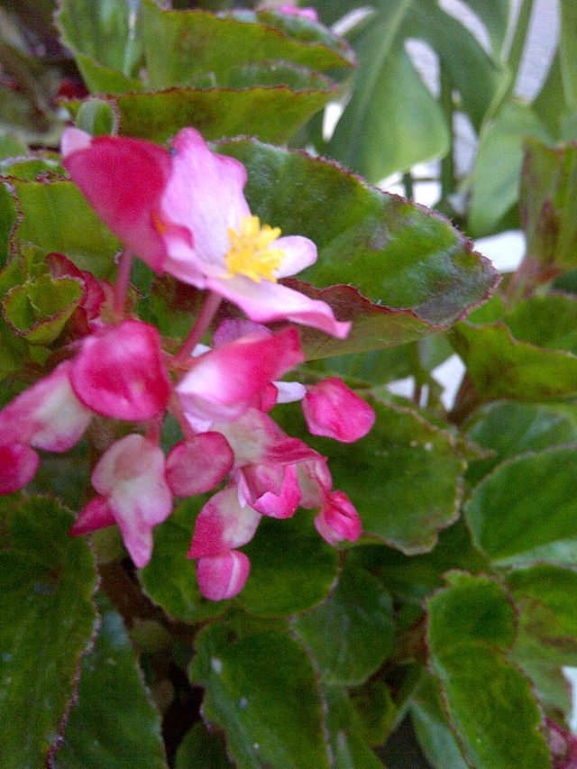 the more light begonia houseplants get the more flowers they produce http - Flowering House Plants Identification