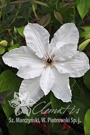 Clematis 'Beautiful Bride' PBR
