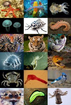 En la clasificación científica de los seres vivos, el reino Animalia (en latín, «animales») o Metazoa («metazoos») constituye un amplio grupo de organismos que son eucariotas, heterótrofos, pluricelulares y tisulares (excepto los poríferos). Se caracterizan por su amplia capacidad de movimiento, por no tener cloroplasto (aunque hay excepciones, como en el caso de Elysia chlorotica) ni pared celular, y por su desarrollo embrionario.
