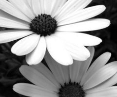 black and white flower: White Flower, Blackandwhite, White Photography, Black And White, Black White, Daisies, Daisy, Tattoo, Flowers