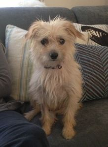 Cairn Terrier Chihuahua Mix Pictures