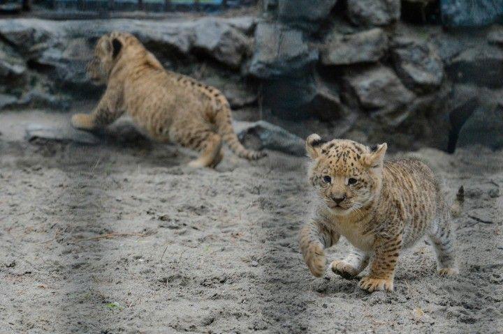 li-liger? Cubs of a lion dad and a liger mom.