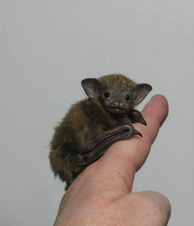 Bumblebee Bat or Kitti's Hog- Nosed Bat::World's smallest bat and also the smallest mammal. These cute little creatures are just 29-33mm in length, have a wingspan of approx.170mm, and weigh in at about a 2 grams.. .