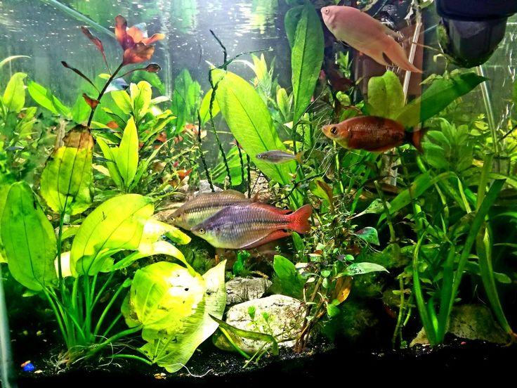 Australian Rainbow Fish, Red Iranian Rainbow Fish, Dwarf Rainbow, Albino Paradise.